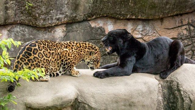 Ягуар и пантера выясняют отношения