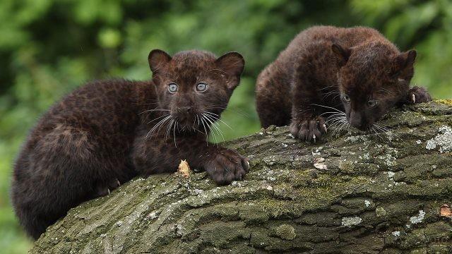 Котята-близнецы играют на дереве