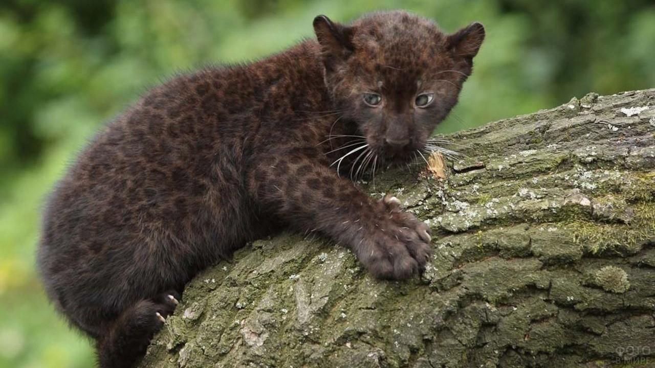Котёнок чёрной пантеры на ветке дерева