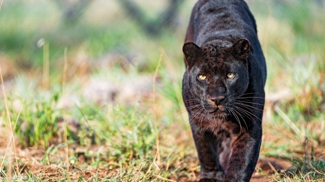 Крадущаяся в траве пантера