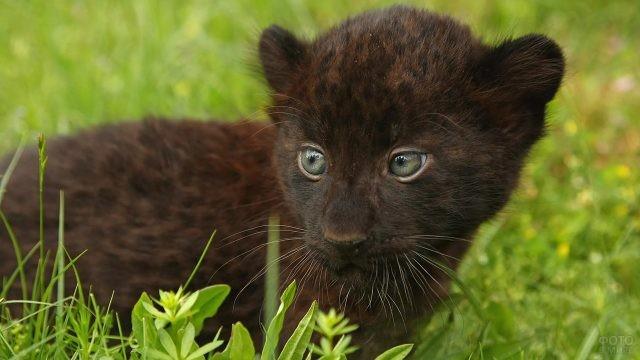 Крошечный детёныш пантеры