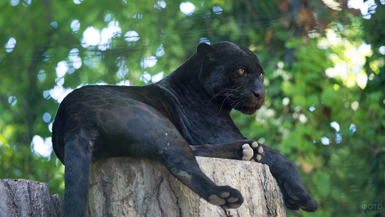 Лежащая на дереве пантера