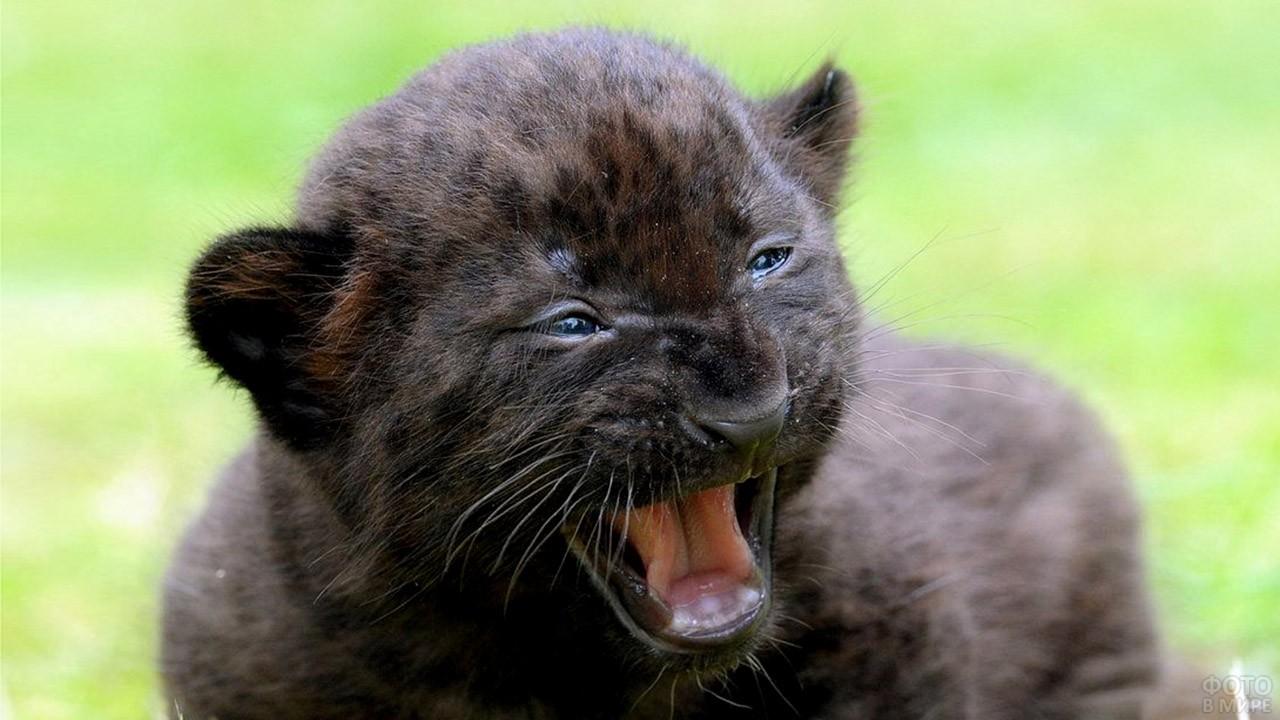 Мяукающий котёнок пантеры