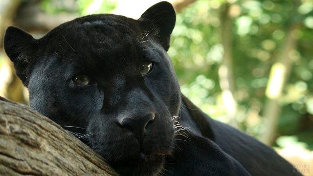 Морда лежащей на дереве гигантской кошки