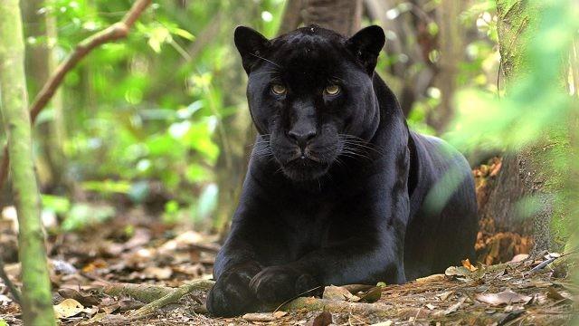 Настороженная пантера в зарослях