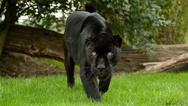 Охотящаяся пантера на зелёной траве