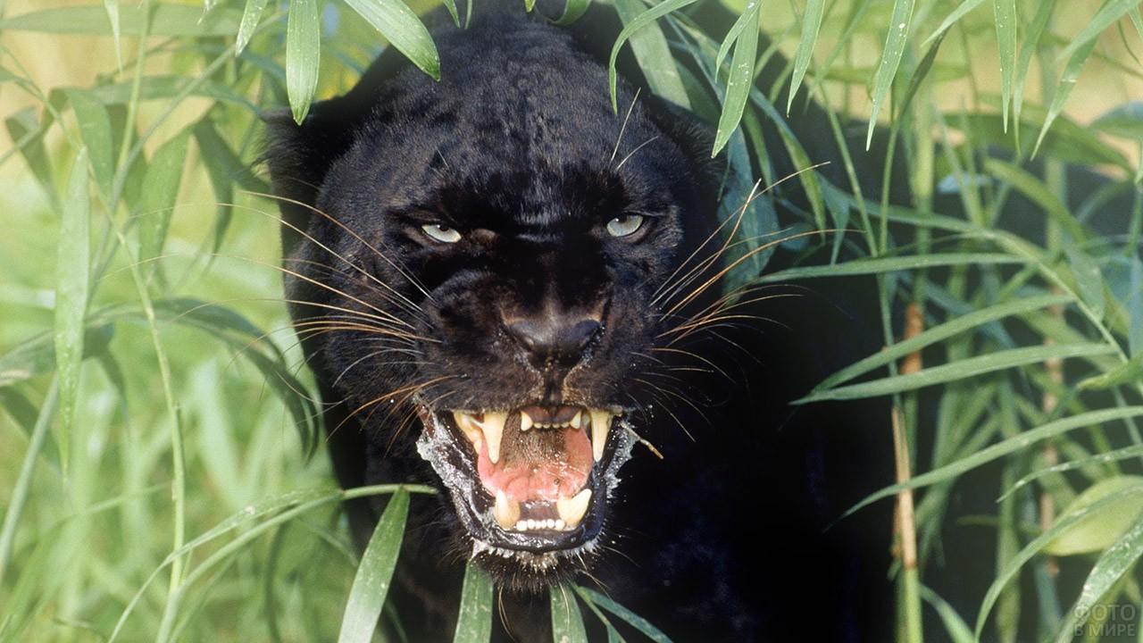 Оскалившаяся пантера в зелёных зарослях