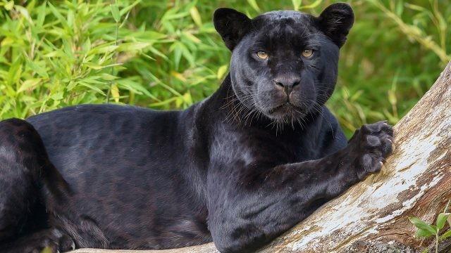 Пантера лежит на дереве вонзив в него когти