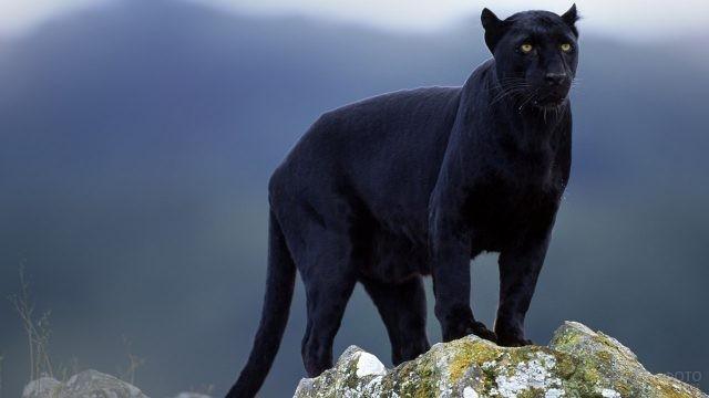 Пантера на вершине скалы