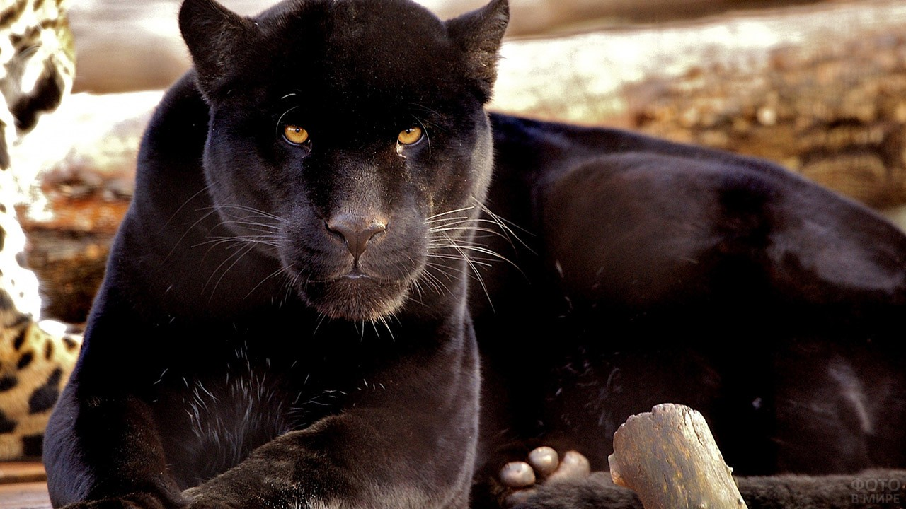 Пристальный взгляд пантеры