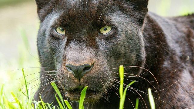 Внимательный взгляд затаившейся пантеры