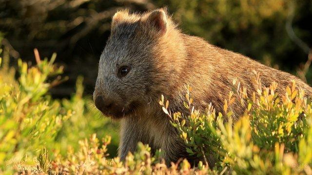 Длинношёрстный вомбат сидит в траве