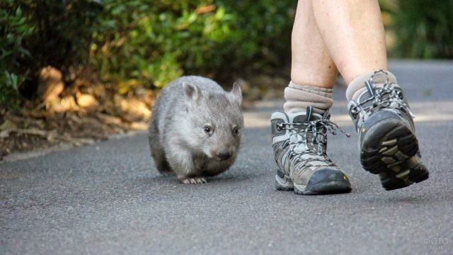 Маленький вомбат на прогулке с человеком