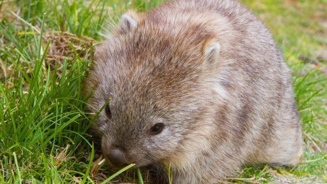 Малыш вомбат ест траву