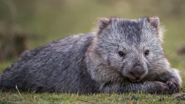 Серый вомбат лежит на траве
