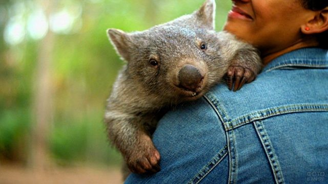 Вомбат лежит на плече человека