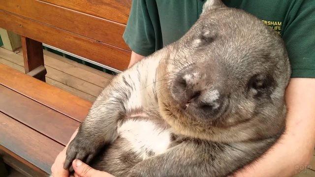 Вомбат спит в человеческих руках