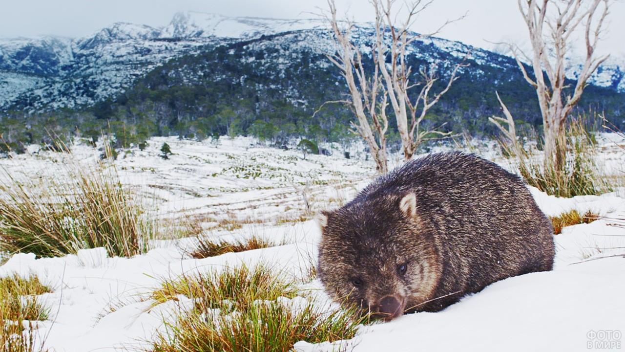Вомбат в зимней природе