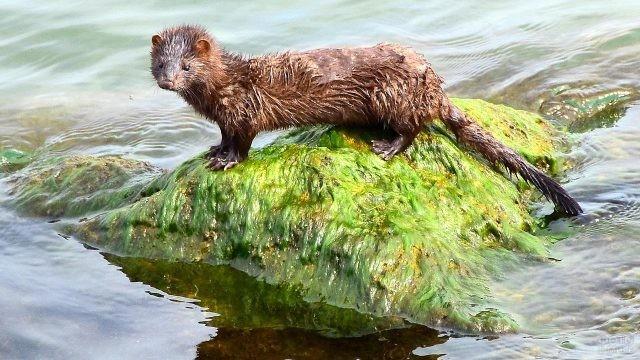 Мокрая норка стоит на камне среди воды