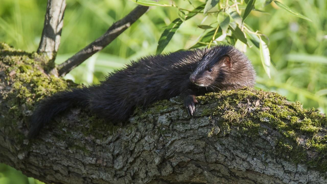 Пушистый зверёк лежит на дереве