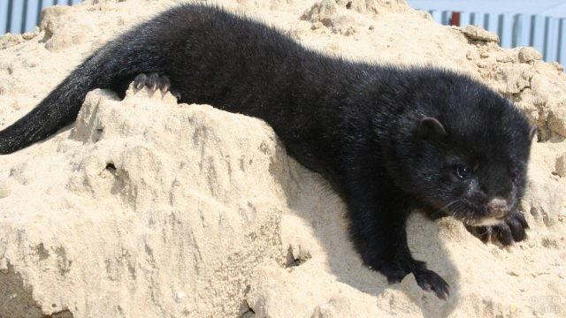 Щенок чёрной норки лежит на песке