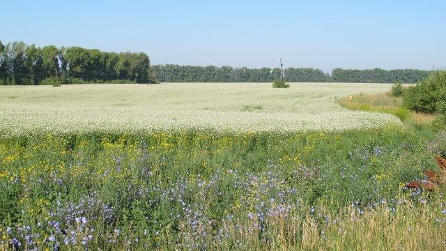 Цветущее поле на Алтае