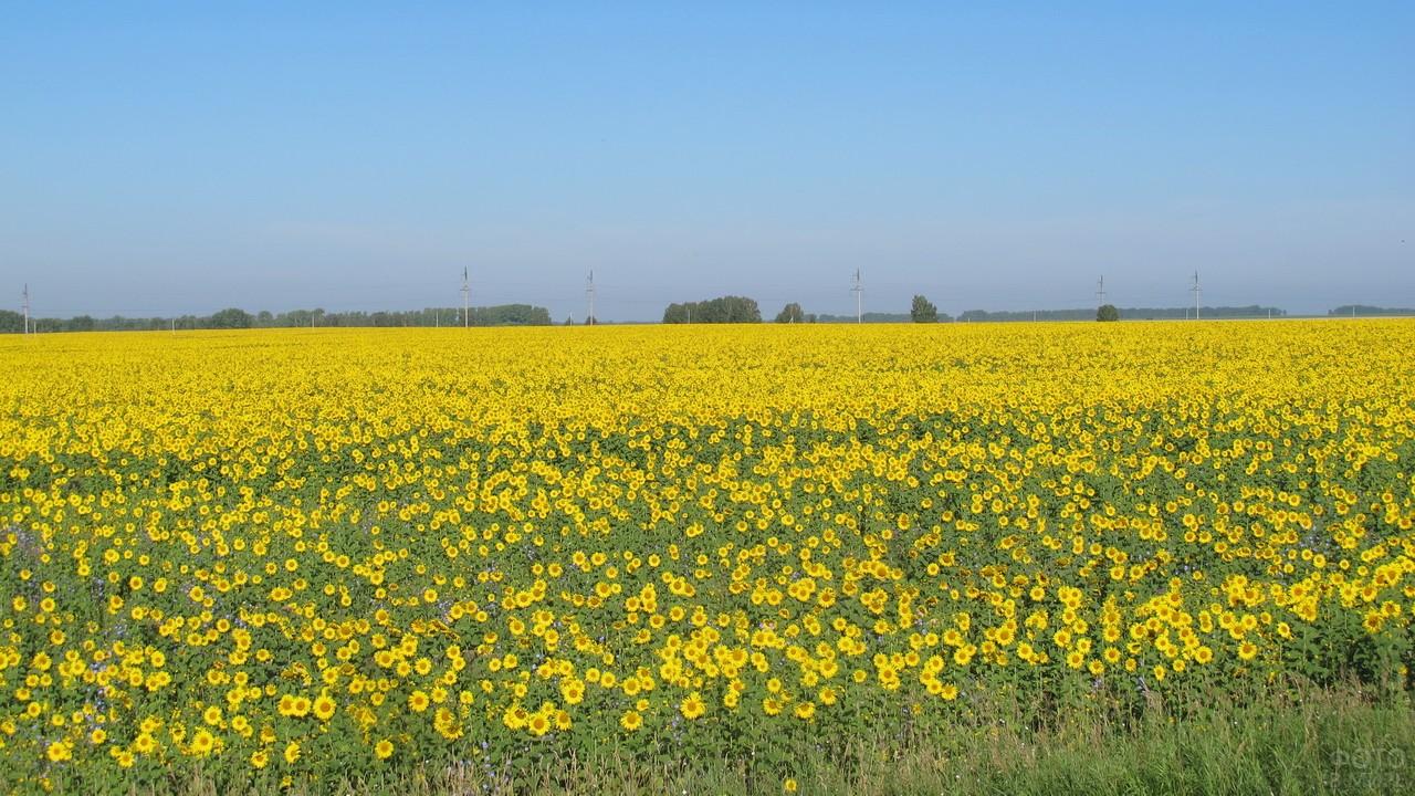 Цветущее поле подсолнухов