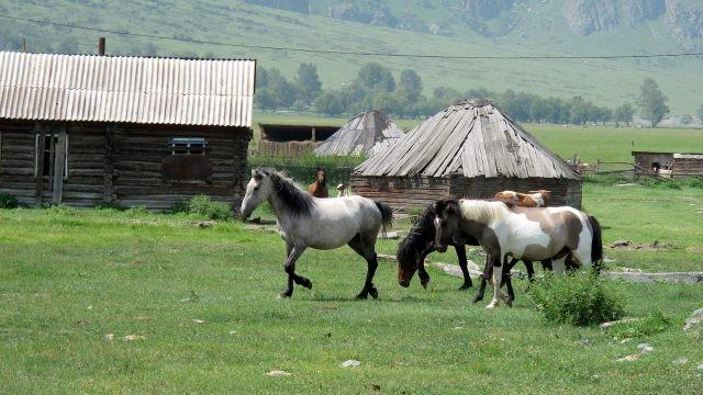 Лошади в алтайском дворе