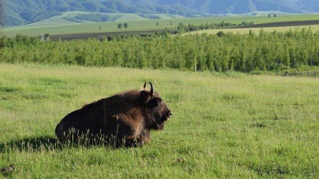 Зубр отдыхает на лугу